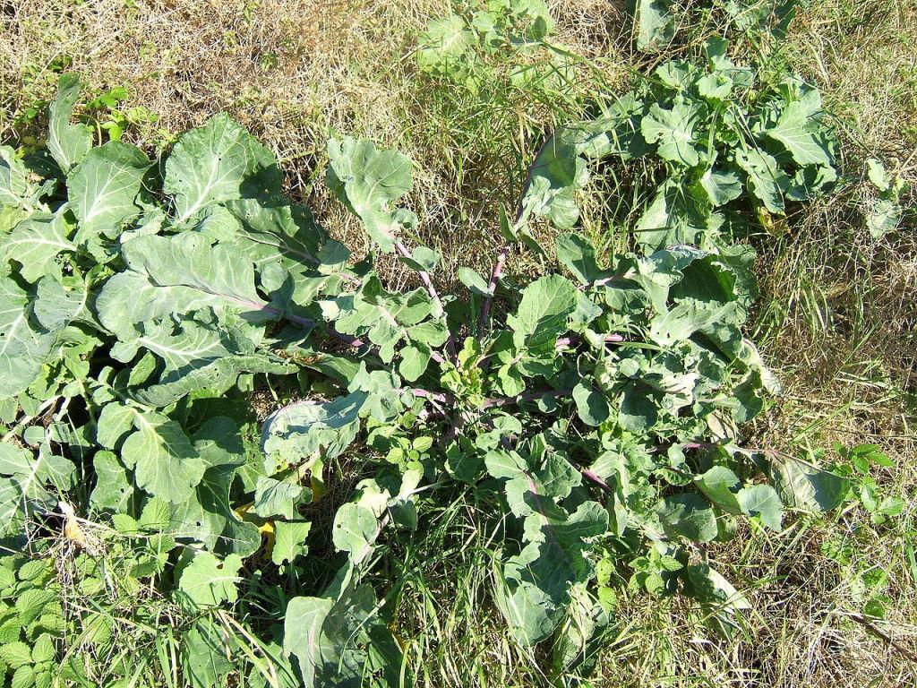 Wild mustard, Brassica oleracea