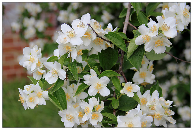 Philadelphus coronarius, mock orange