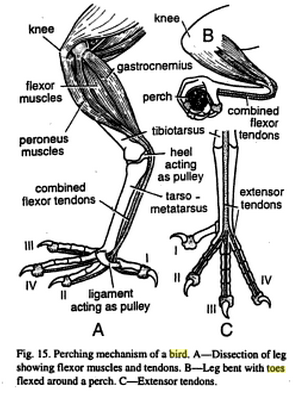 bird flexor tendon