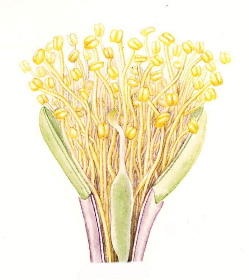 bullhorn acacia flower