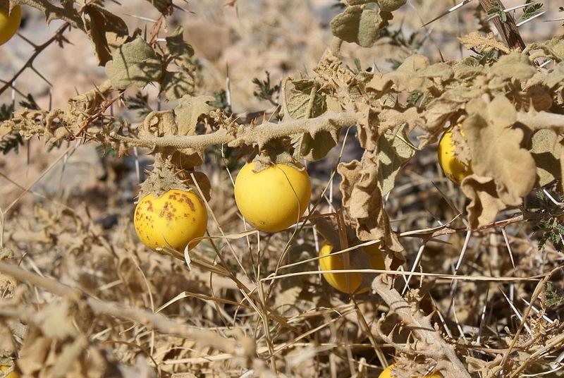solanum incanum wild eggplant