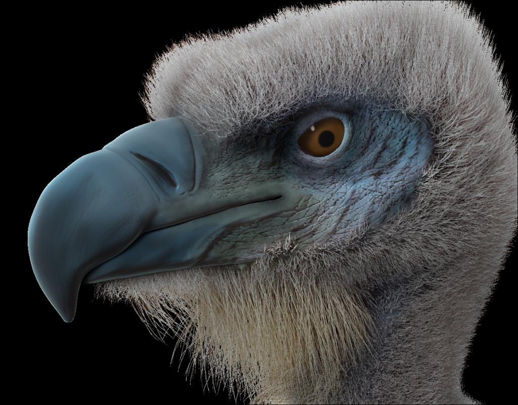 griffon vulture science art