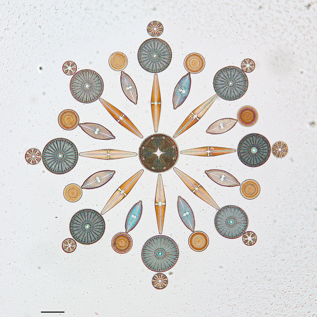 Arranged Diatoms on Microscope Slides in the California Academy of Sciences Diatom Collection