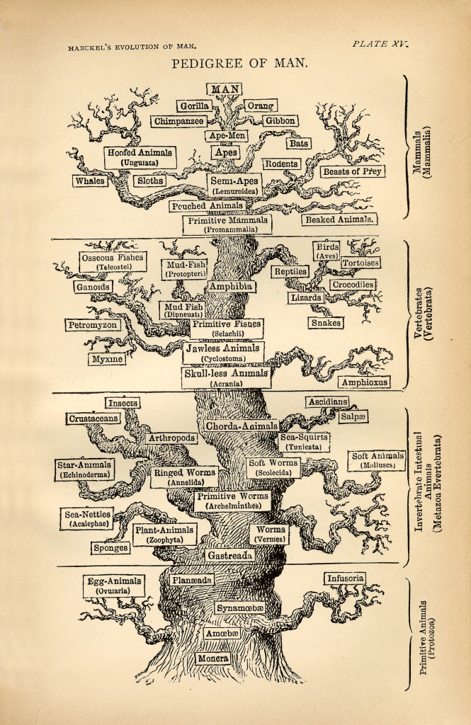 haeckel evolution of man