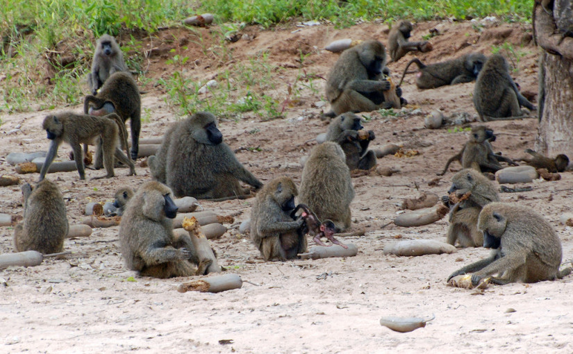 baboon democracy