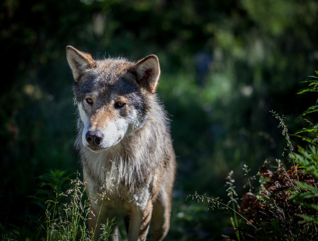 Wolf erratum | Day 176